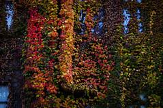 Leaves of ivy (kumakichi) Tags: autumn fall sapporo hokkaido ivy 北海道 秋 札幌 蔦 北海道大学 ツタ