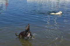 playing dogs (chloe bain) Tags: blue summer dog playing hot beach water swimming swim nikon brighton australia melbourne whippet victoria d5200