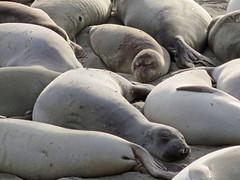 Elephant seals II (neilpeach) Tags: california sunset usa beach bigsur elephantseal