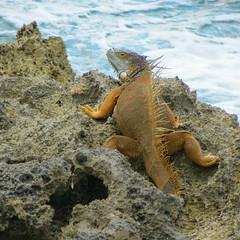 (goatling) Tags: island reptile lizard iguana tropical tropic caribbean cayman carib caymanislands tropics grandcayman caribe westbay westindies britishwestindies paradisepointe 201312gcm