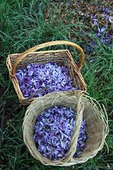 One morning's harvest (siebensprung) Tags: italien italy flower spice blte safran saffron abruzzo gewrz abruzzen crocussativus