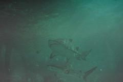 Habitats (Laura-Lynn Petrick) Tags: ocean fish film nature aquarium underwater earth series sharks amphibians creatures greatwhiteshark hammerheadshark seas waterlife lauralynnpetrick reallifesharks