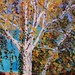 "Taos Tree - 16"" x 20"" - Oil - $780.00"