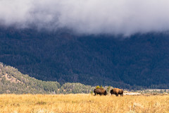 Lamar Valley Bison (Bridgetony) Tags: usa animal day cloudy stormy valley northamerica yellowstone wyoming bison