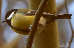 GREAT TIT (wards photo's) Tags: britishwildlife greattitbritishbirds