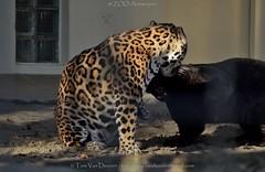 Jaguar - Panthera Onca (MrTDiddy) Tags: playing black yellow cat zoo big kat teeth bigcat antwerp jaguar zo geel zwart antwerpen zara zooantwerpen tanden grote onca panthera grotekat