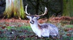 A Buck At Rest (Gilly B2011) Tags: nature fauna outdoors cheshire country deer buck fallow deers dunham