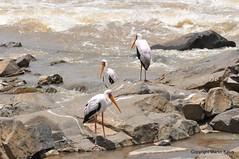 DSC_4444 (martin-kalus.de) Tags: sdafrika vogel marabu lowersabie krgerpark fotografmartinkalus