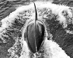 Chasing (Matthew_Allen) Tags: ocean california sea wild blackandwhite pacific sandiego free killer whale orca killerwhale orcawhale