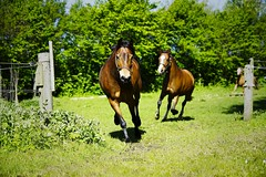 Pasture race :) (vesterskov) Tags: horses horse mountain grass barn race training photography photo foto ride walk daniel sony injury whiskey slide riding stop pony pasture f western whisky 28 welsh fold mm stable f28 trot dt slt ssm trning hest fotografi a77 injuries horsemanship 1650 strathisla heste grs ponie stald 1650mm vesterskov slta77 slta77v a77v slta77vq a77vq 281650 legkarithjucy