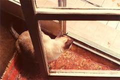 michu (Lalo Jimnez) Tags: pet cat gato mascota minno
