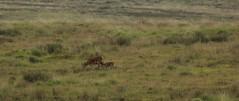 Following Mum (Derbyshire Harrier) Tags: summer evening milk feeding dusk derbyshire peakdistrict calf nationaltrust hind reddeer suckling 2014 rspb peakpark wildreddeer easternmoors