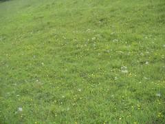 """Pusteblumen"" der Gewohnlichen Kuhschelle (Jelani Nemorivagus) Tags: pflanze eifel mai 88 vulgaris 2014 pulsatilla nsghundsruck"
