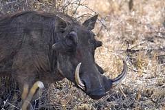 IMG18770 (Arno Meintjes Wildlife) Tags: africa nature animals southafrica safari krugerpark kruger arnomeintjes weldlife