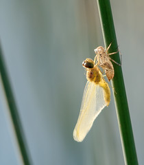 Brand New Life (Osgoldcross Photography) Tags: reed nature wings dragonfly birth emerging nymph pupa