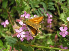Thymelicus sylvestris - L'Hesprie de la Houque ou La Bande noire - The Small Skipper -  25/06/14 (Philippe_Boissel) Tags: france europe insects lepidoptera papillon savoie 112 hesperiinae hesperiidae thymelicussylvestris rhnealpes montagny bandenoire hespriedelahouque labandenoire rhopalocre lhespriedelahouque