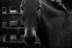 af1407_9859 bw (Adriana Fchter) Tags: brazil horses bw horse beauty brasil rural caballo cheval state farm side country burro fries jumento cavalos ameland impressed pferde cavalo pferd natures equine fazenda chevaux paard paarden sweetface equino galope slott equines friese friesche pferden mywinners friesische professionalequineimages snogeholms
