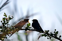 Rondine - Hirundo rustica (edmondo rizzo) Tags: uccelli hirundorustica rondine oasidibentivoglio animaliliberi