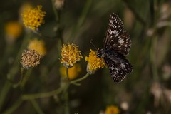 Skipping Around (harefoot1066) Tags: lepidoptera asteraceae hesperiidae pyrguscommunis commoncheckeredskipper sweetbush bebbiajuncea commoncheckeredbutterfly