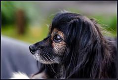 Tina (Totugj) Tags: nikon d5100 nikkor 50mm 14 tina mascotas perro perros