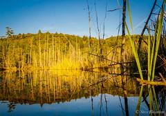 Golden Beaver Pond (stevebowman57) Tags: goldenhour pond beaverpond reflection bluesky deadtrees water