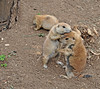 Black-tailed Prairie Dog 3