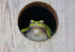 this one's strictly for the frogs (mishko2007) Tags: treefrog korea 105mmf28 hylajaponica