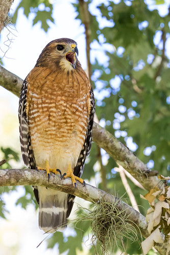 Red-shouldered Hawk - Tamron 150-600 G2 Test