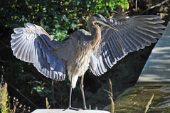with open wings (christiaan_25) Tags: greatblueheron gbh heron ardeaherodias bird standing wings stretch wingspan spread animal nature wildlife outdoor water spillway sunlight shadow feathers detail