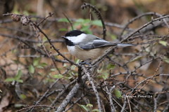 Black-capped Chickadee (Poecile atricapillus) (Gerald (Wayne) Prout) Tags: blackcappedchickadee poecileatricapillus animalia aves chordata passeriformes paridae poecile songbirds perchingbirds photographed tamaracknaturetrail herseylakeconservationarea cityoftimmins northeasternontario canada prout geraldwayneprout canon canoneos60d blackcapped black chickadee tamarack nature trail hersey lake conservation area herseylake conservationarea timmins ontario ontarione northernontario northeastern northern