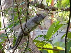Apparently Possum (tessab101) Tags: possum australia tailed daylight blue mountains nsw ring