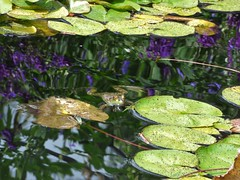 Monet Frog Pond (FoxInTheWoods) Tags: monet waterlilies pond frogpond lilypond towerhillbotanicgarden frog amphibian publicgarden green