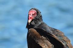 Jote de cabeza colorada (Cathartes aura jota) (gabicontrerasb) Tags: aves ave bird birds birding jote carroñero chile valdivia nature wildlife