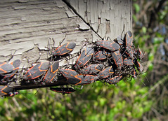 IMG_9379 (Mat_B) Tags: moraine hills state park nature natural area photography walk fall 2016 congregating box elder bug insect corner wood sign texture
