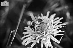 DSC00867 (robert_kulterer) Tags: bw bee flower sonya7ii 55mm olympus zouki auto s 12 macro makro