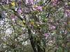 羊蹄甲 (judie35) Tags: tree 木棉 水珠滾滾 雨天