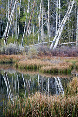 Leaning Aspen (Kirk Lougheed) Tags: california easternsierra inyonationalforest lundycanyon usa unitedstates aspen autumn beaverpond fall landscape outdoor reflection tree water