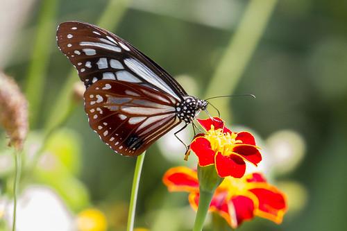 Parantica sita sita (Chestnut Tiger)