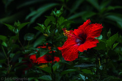 Red Hibiscus (In Explore) (Jayfotographia) Tags: hibiscus shoeflower flower plant red green nature bloom garden flora kerala india jayasankarmadhavadas jayfotographia canoneos1200d canon photography