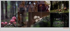 USA_0283 (Weinstöckle) Tags: pilz fliegenpilz blattpilz springschwanz