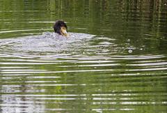 IMG_0412 (1a) (Alinbidford) Tags: alancurtis alinbidford brandonmarsh cormorant