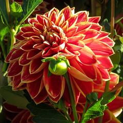 Dahlia (San Francisco Gal) Tags: monetsgarden normandy flower fleur bloom blossom plant dahlia ngc