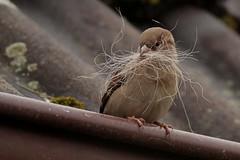 Rolf_Nagel-Fl-7021-Passer_domesticus (Insektenflug) Tags: passerdomesticus housesparrow passer domesticus house sparrow haussperling grspurv sperling spatz vogel vgel bird birds mecklenburg vorpommern mritz