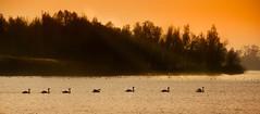 In the morning line (marielledevalk) Tags: outdoor lake landscape sunrise field swan winter water nature biesbosch netherlands trees