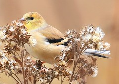 American goldfinch eating stiff goldenrod seed at Decorah Fish Hatchery IA 854A8669