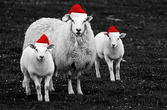 Season's Bleatings (mattbeee) Tags: ifttt 500px sheep baa seasons bleatings christmas santa hats hat baaa noperson