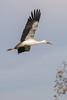 in volo (stefanorasicaldogno) Tags: fagagna ciconiaciconia