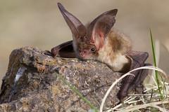 Бор соотон багваахай Brown long-eared bat Plecotus ognevi (obaatargal) Tags: raordinary capture gorgeous details lightings colors congratulations explore