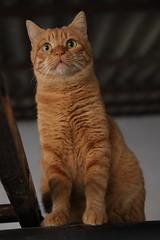 Milo (angeluzca) Tags: gato gatos cats cat chat gatto gatti katzen rubio anaranjado rayado mascotas pet animal animals animales bigotes wiskers eyes felino felinos felidos