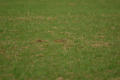 Hare Laying Low (jazalty) Tags: staveleynaturereserve staveley nature yorkshirewildlifetrust hidden hare eyes